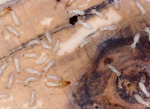 防蟻剤 シロアリ対策 家シロアリ  ホウ酸