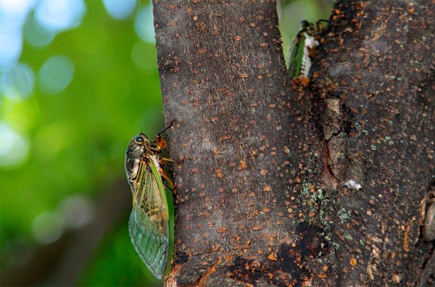 繁殖能力 蝉取り クマゼミ アブラゼミ