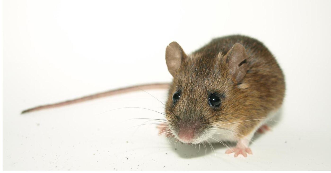 来年の干支 ネズミ(子)ネズミ  は沈みかけた船を見捨てる