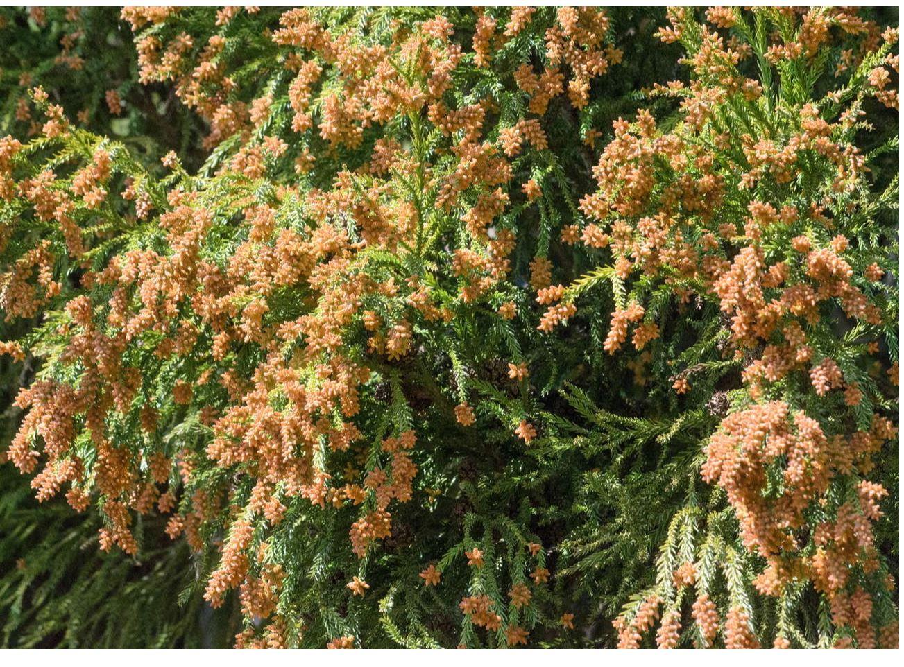 花粉症の時期 スギ ヒノキ 頭痛 喉や皮膚のかゆみ