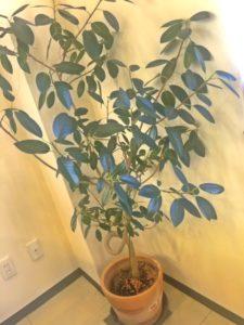 植物 インテリア 観葉植物 木