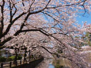 小田原城 桜 桜並木 春 お堀